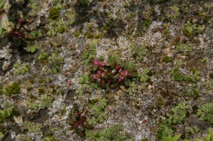 Úpor trojmužný (Elatine triandra), Řídelov, Malý pařezitý rybník [JI], 21.6.2006, foto Libor Ekrt
