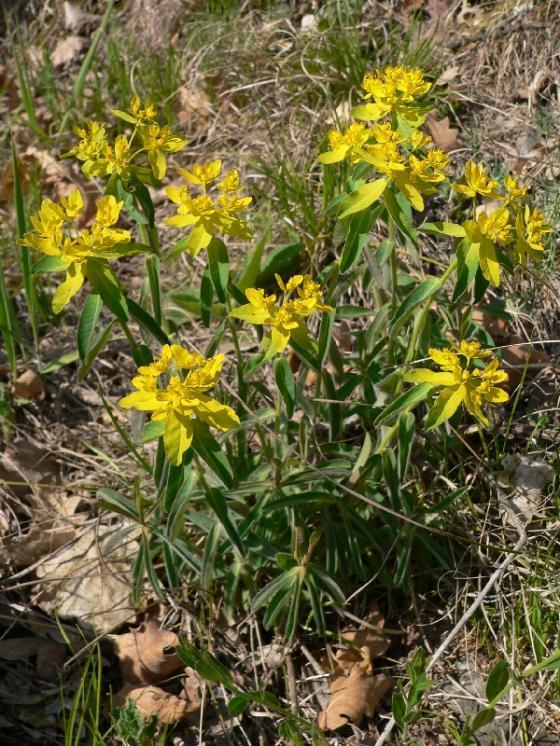 Pryšec mnohobarvý (Euphorbia epithymoides), PR Velká skála [TR], 23.4.2007, foto Luděk Čech