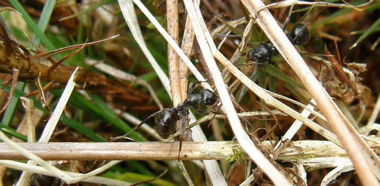 Mravenec rašelinný (Formica picea) vázaný u nás svým výskytem na rašeliniště patří k druhům ohroženým zánikem stanovišť, PR Na Oklice, foto Pavel Bezděčka.