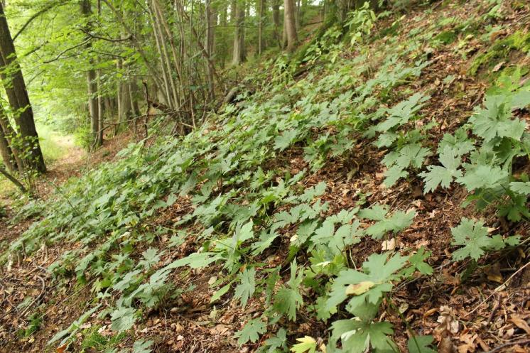 Oměj vlčí mor pravý (Aconitum lycoctonum), Dyjička, porost na svahu nad Moravskou Dyjí [JI], 13.8.2016, foto Libor Ekrt