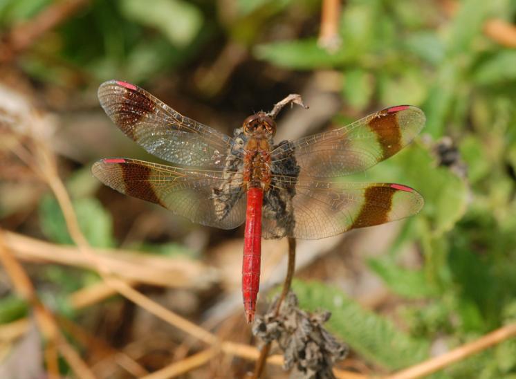 Vážka podhorní (Sympetrum pedemontanum), foto Václav Křivan