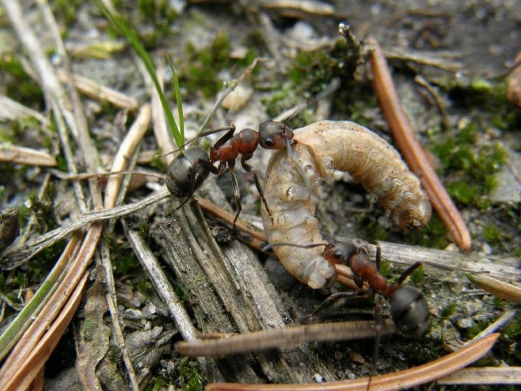 Spolupráce je jedním ze základních předpokladů úspěšnosti mravenců - (Formica lugubris) v NPR Ransko, foto Klára Bezděčková.