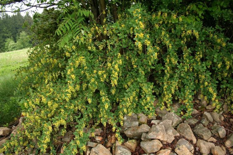 Dřišťál obecný (Berberis vulgaris), Horní Pole [JH], 21.5.2008, foto Libor Ekrt