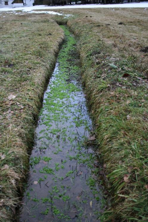 Zdrojovka hladkosemenná potoční (Montia fontana subsp. amporitana), NPP Jankovský potok [PE], 18.1.2008, foto Libor Ekrt