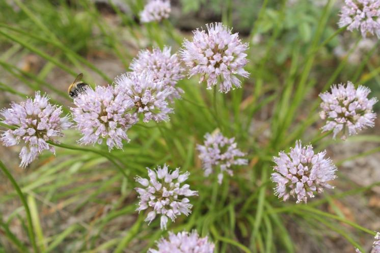 Česnek šerý horský (Allium senescens subsp. montanum), Šemíkovice, Výří skála [TR], 18.6.2016, foto Libor Ekrt