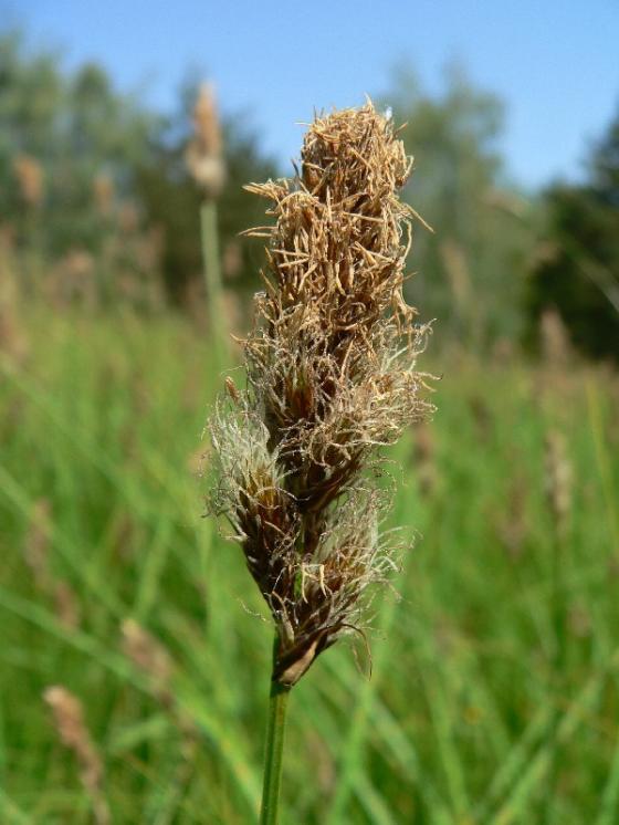 Ostřice dvouřadá (Carex disticha), Stará Říše, Hruškovec [JI], 2.6.2008, foto Luděk Čech