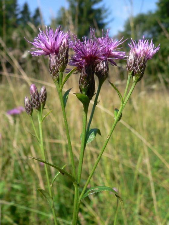 Srpice barvířská pravá (Serratula tinctoria), PP Pod Kazbalem [HB], 31.8.2008, foto Luděk Čech