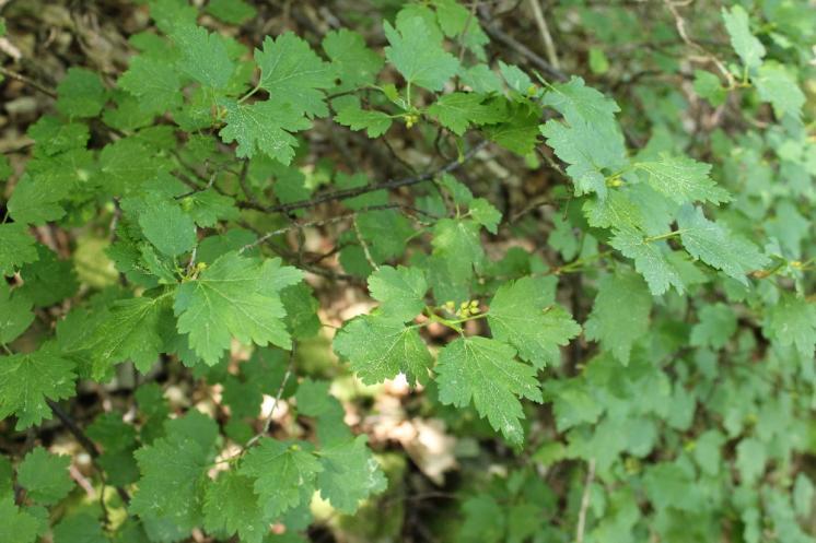 Rybíz alpínský (Ribes alpinum), Plešice, Staré Duby [TR], 12.5.2015, foto Libor Ekrt