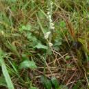 Švihlík krutiklas (<i>Spiranthes spiralis</i>), NPP Švařec [ZR], 4.9.2013, foto Luděk Čech