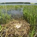 Hnízdo labutě velké (<i>Cygnus olor</i>), Veselský rybník, 18.5.2012, foto Vojtěch Kodet