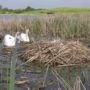 Hnízdo s mláďaty labutě velké (<i>Cygnus olor</i>), Starý ryb., PP Ptáčovské rybníky, 20.5.2010, foto Vojtěch Kodet