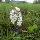 Vachta trojlistá (<i>Menyanthes trifoliata</i>), rašeliniště Bažantka, 8.5.2013, foto Vojtěch Kodet