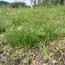 Ostřice stinná (<i>Carex umbrosa</i>), PP Bukovské rybníčky, trs [JI], 29.5.2016, foto Libor Ekrt