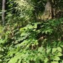 Udatna lesní (<i>Aruncus dioicus</i>), Rantířov, PR Zaječí skok [JI], 13.6.2015, foto Libor Ekrt