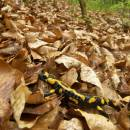 Mlok skvrnitý (<i>Salamandra salamandra</i>), PR Údolí Oslavy a Chvojnice, 25.4.2011, foto Vojtěch Kodet