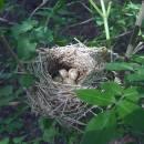 Hnízdo pěnice čenohlavé (<i>Sylvia atricapilla</i>), u Smrčenského potoka v Jihlavě [JI]