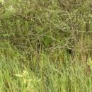 Kapradiník bažinný (<i>Thelypteris palustris</i>), PR V Lisovech [JI], 9.6.2013, foto Libor Ekrt