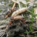 Lesní mravenci (<i>Formica lugubris</i>) v NPR Ransko, foto Klára Bezděčková.