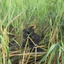 Mládě motáka pochopa (<i>Circus aeruginosus</i>), Zdislavický rybník, 14.7.2010, foto Vojtěch Kodet