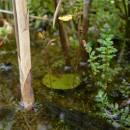 Bublinatka menší (<i>Utricularia minor</i>), PR Chvojnov [JI], 12.6.2012, foto Luděk Čech
