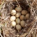 Hnízdo kachny divoké (<i>Anas platyrhynchos</i>), PP V Lisovech, 8.5.2013, foto Vojtěch Kodet