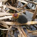Mládě lysky černé (<i>Fulica atra</i>), PP Starý Přísecký rybník, 12.5.2010, foto Vojtěch Kodet