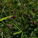 Mochna bahenní (<i>Potentilla palustris</i>), Pod Čertovým kamenem, 9.7.2010, foto Vojtěch Kodet