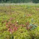 Rosnatka okrouhlolistá (<i>Drosera rotundifolia</i>), Pilný rybník, 31.7.2012, foto Vojtěch Kodet