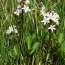 Vachta trojlistá (<i>Menyanthes trifoliata</i>), PR Rybník Starý [PE], 12.5.2008, foto Luděk Čech