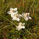 Tolije bahenní (<i>Parnassia palustris</i>), PR Chvojnov, 15.9.2010, foto Vojtěch Kodet