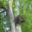Hnízdo čápa černého (<i>Ciconia nigra</i>), PR V Klučí, 28.5.2015, foto Vojtěch Kodet