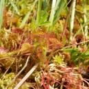 Rosnatka okrouhlolistá (<i>Drosera rotundifolia</i>), PR Chvojnov, 19.6.2013, foto Vojtěch Kodet