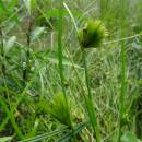 Ostřice šáchorovitá (<i>Carex bohemica</i>), PR Vílanecké rašeliniště, 3.7.2016, foto Vojtěch Kodet