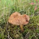 Václavka bažinná (<i>Armillaria ectypa</i>), PR V Lisovech, Jihlávka [JI]