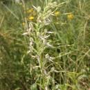 Jazýček jadranský (<i>Himantoglossum adriaticum</i>), Šemíkovice, údolí Rokytné, Knížecí seč [TR], 18.6.2016, foto Libor Ekrt
