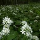 Česnek medvědí (<i>Allium ursinum</i>), PP Vysoký kámen u Smrčné, 29.5.2006, foto Vojtěch Kodet
