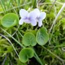 Violka bahenní (<i>Viola palustris</i>), PR Vílanecké rašeliniště, 6.5.2016, foto Vojtěch Kodet