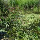 Mochna bahenní (<i>Potentilla palustris</i>), rašeliniště Bažantka, 16.6.2016, foto Vojtěch Kodet