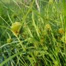 Ostřice šáchorovitá (<i>Carex bohemica</i>), PR Vílanecké rašeliniště, 13.8.2015, foto Vojtěch Kodet