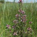 všivec bahenní (Pedicularis palustris)
