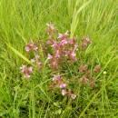 všivec lesní (Pedicularis sylvatica)