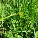 Ostřice šáchorovitá (<i>Carex bohemica</i>), ryb. Bezděkov, 7.6.2016, foto Vojtěch Kodet