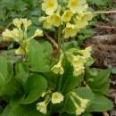 Prvosenka vyšší (<i>Primula elatior</i>), PR Habrová seč, 6.4.2014, foto Vojtěch Kodet