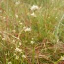 Hrotnosemenka bílá (<i>Rhynchospora alba</i>), PR Chvojnov, 18.8.2013, foto Vojtěch Kodet