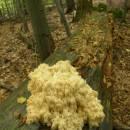 Korálovec jedlový (<i>Hericium flagellum</i>), NPR Velký Špičák, 24.9.2010, foto Vojtěch Kodet