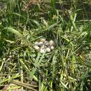 Hnízdo lysky černé (<i>Fulica atra</i>), Veselský rybník, 11.6.2011, foto Vojtěch Kodet