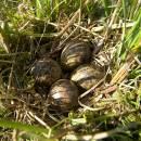 Hnízdo bekasiny otavní (<i>Gallinago gallinago</i>), U Farského lesa, 21.4.2012, foto Vojtěch Kodet