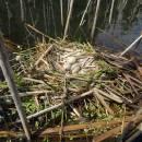 Hnízdo lysky černé (<i>Fulica atra</i>), ryb. Kachlička, 14.6.2016, foto Vojtěch Kodet