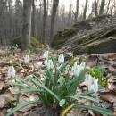 Sněženka podsněžník (<i>Galanthus nivalis</i>), NPR Velký Špičák, 24.3.2012, foto Vojtěch Kodet