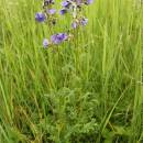 Jirnice modrá (<i>Polemonium caeruleum</i>), PR V Lisovech [JI], 5.6.2014, foto Libor Ekrt
